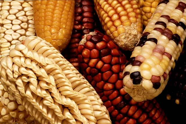 Genetically Modified Foods (GMO) Info. from Healthy Diet Habits. Pictured: Corn
